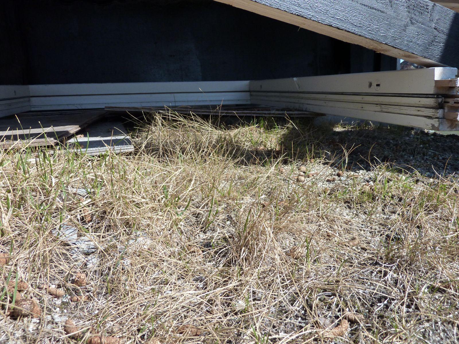 Harelort under hytten i Kanasut