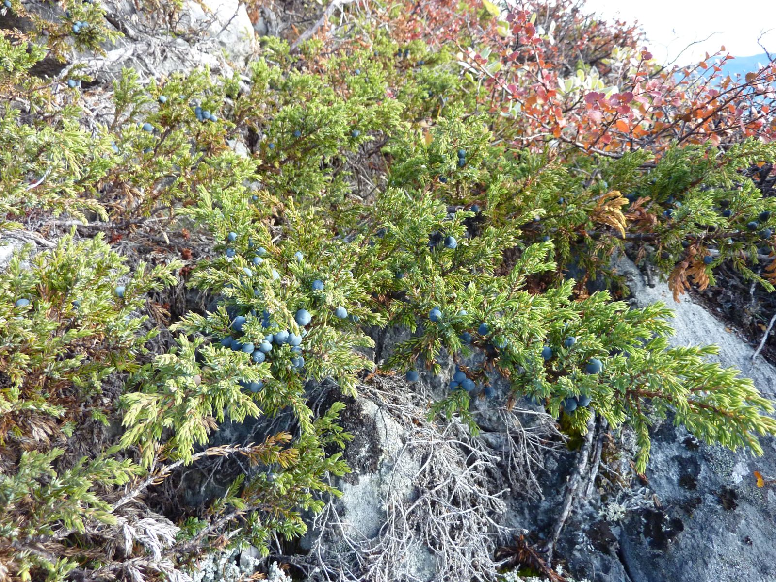 2010-09-19-1256_-_Enebær; Vegetation
