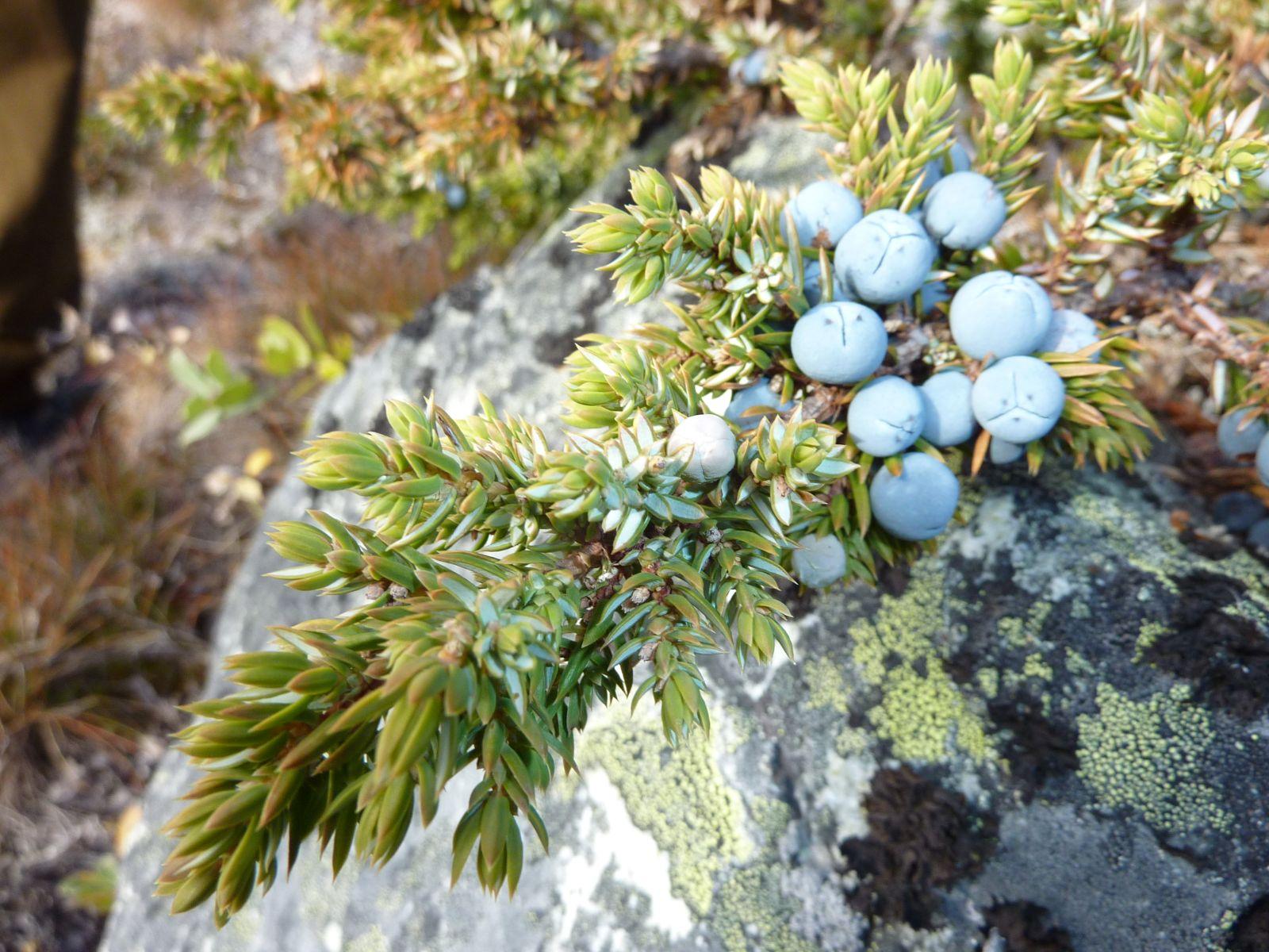 2010-09-19-1256_-_Enebær; Vegetation_2
