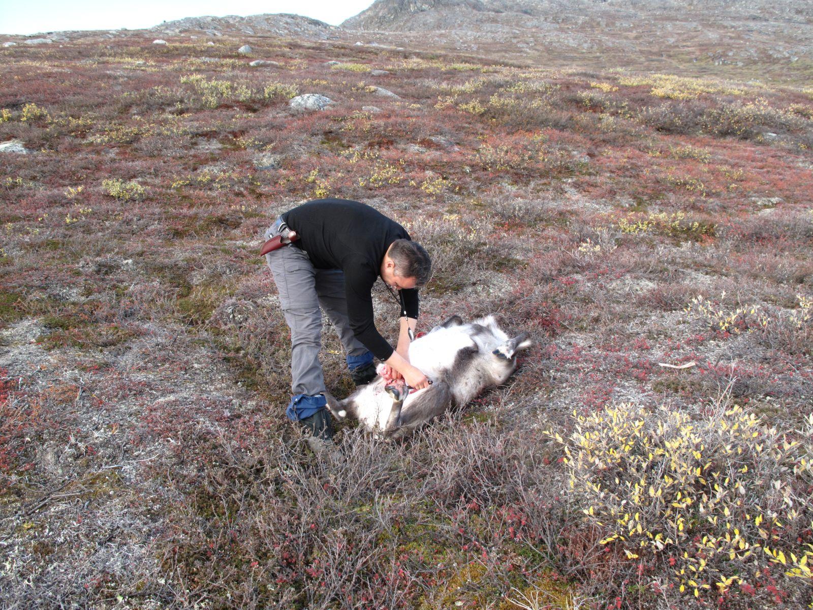 2010-09-25-1222_-_Rensdyr; Slagtning; Svend Sværd