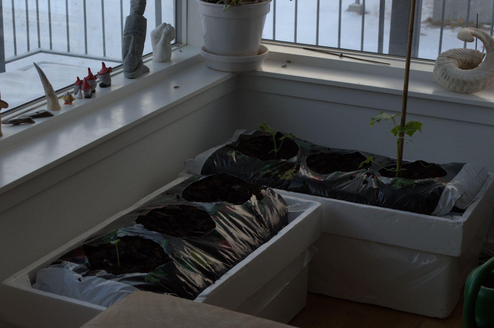 2014-03-27-0824_-_Agurkeplante_Planter_Roed-peber