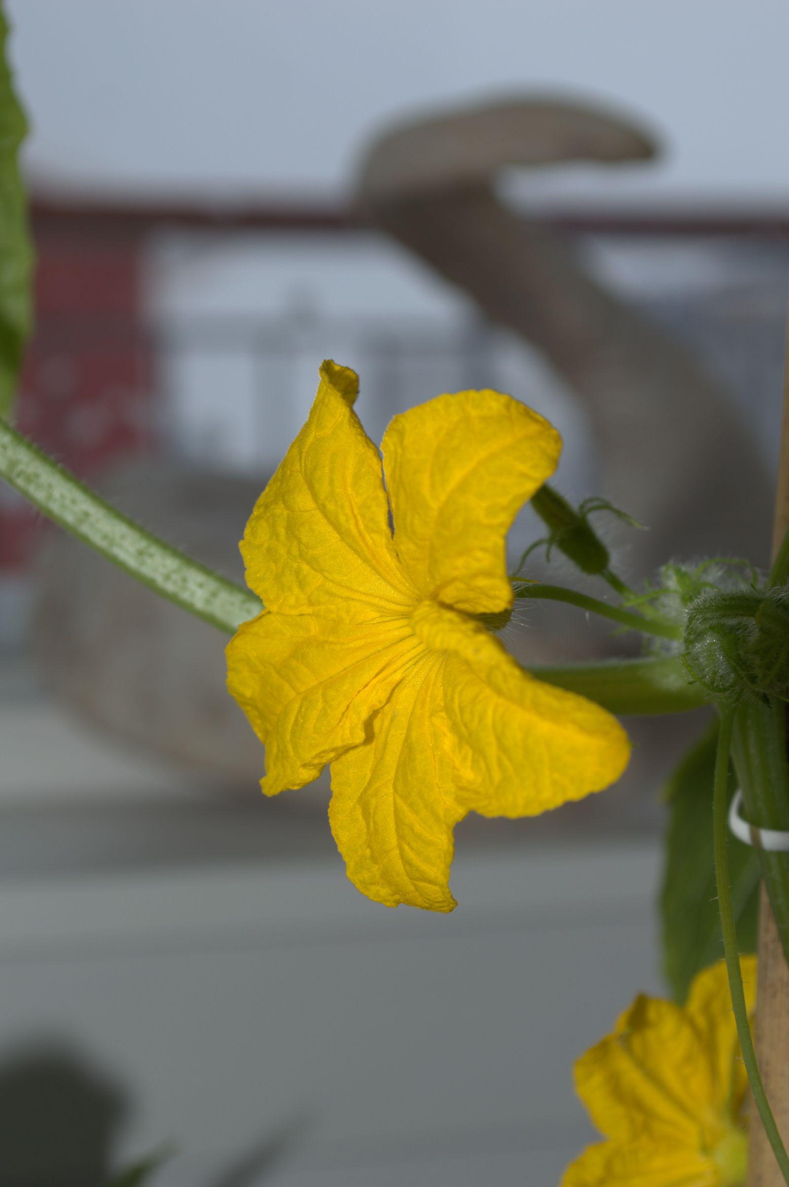 2014-04-11-0843_-_Agurkeplante_Planter_4