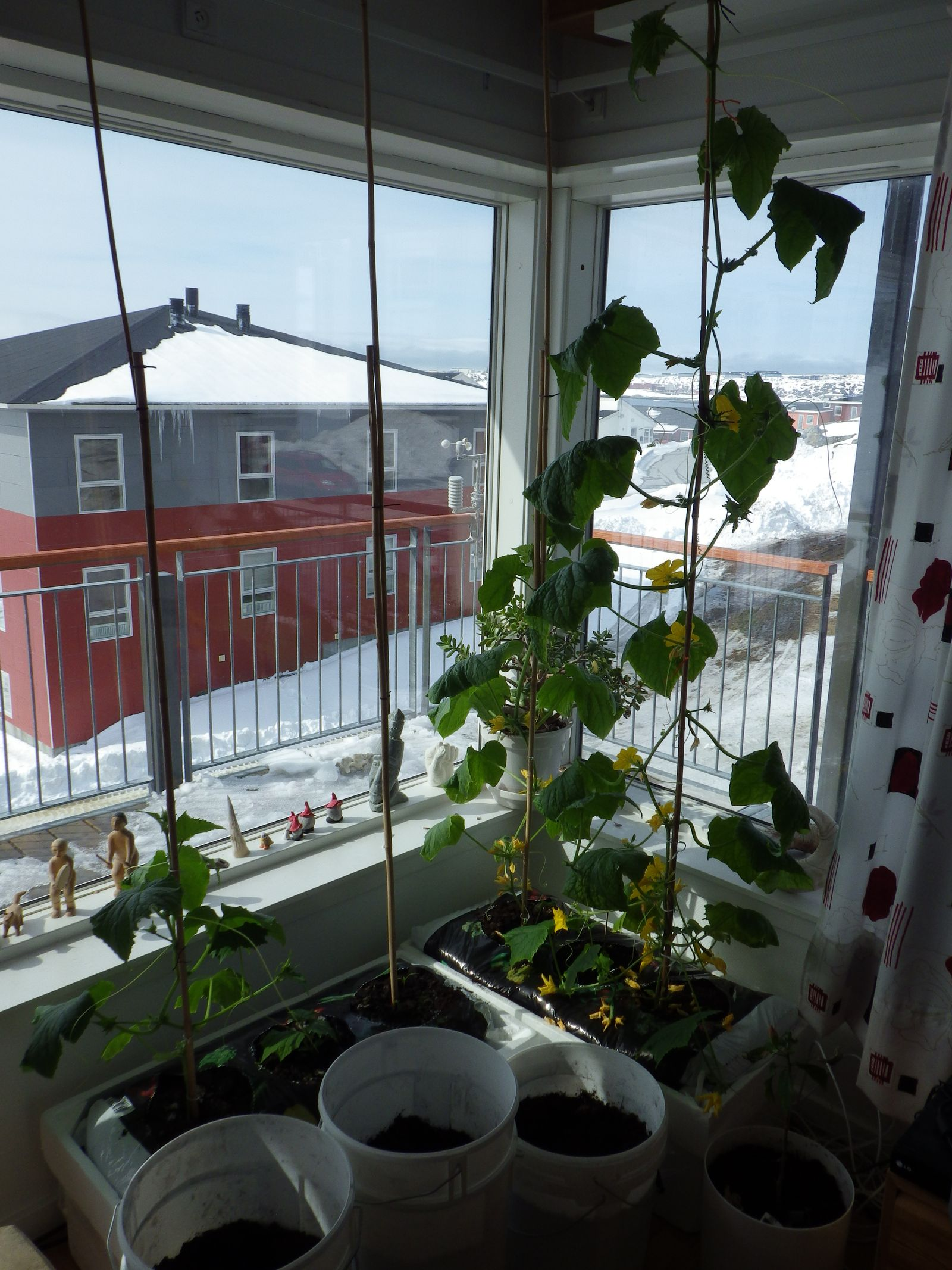 2014-04-26-1108_-_Agurkeplante_Kartofelspande_Planter