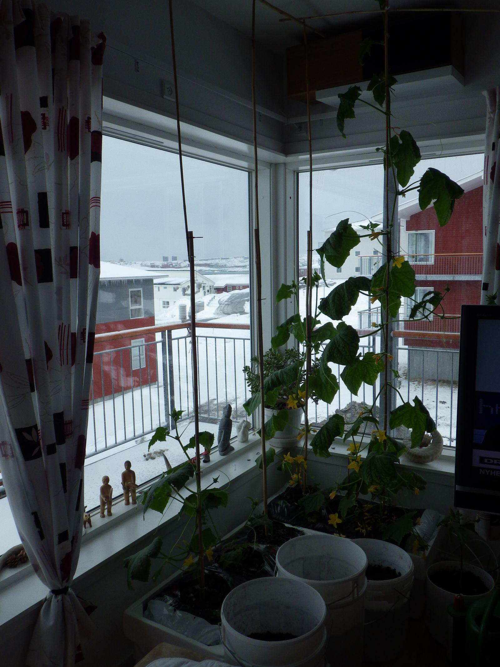 2014-04-28-1548_-_Agurkeplante_Kartoffelspande_Planter