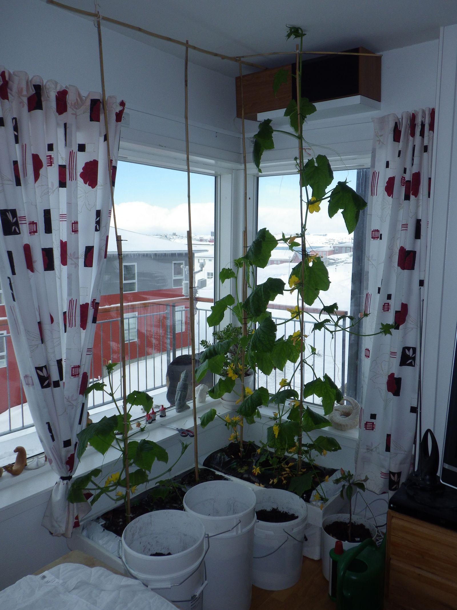 2014-04-29-0822_-_Agurkeplante_Kartofelspande_Planter