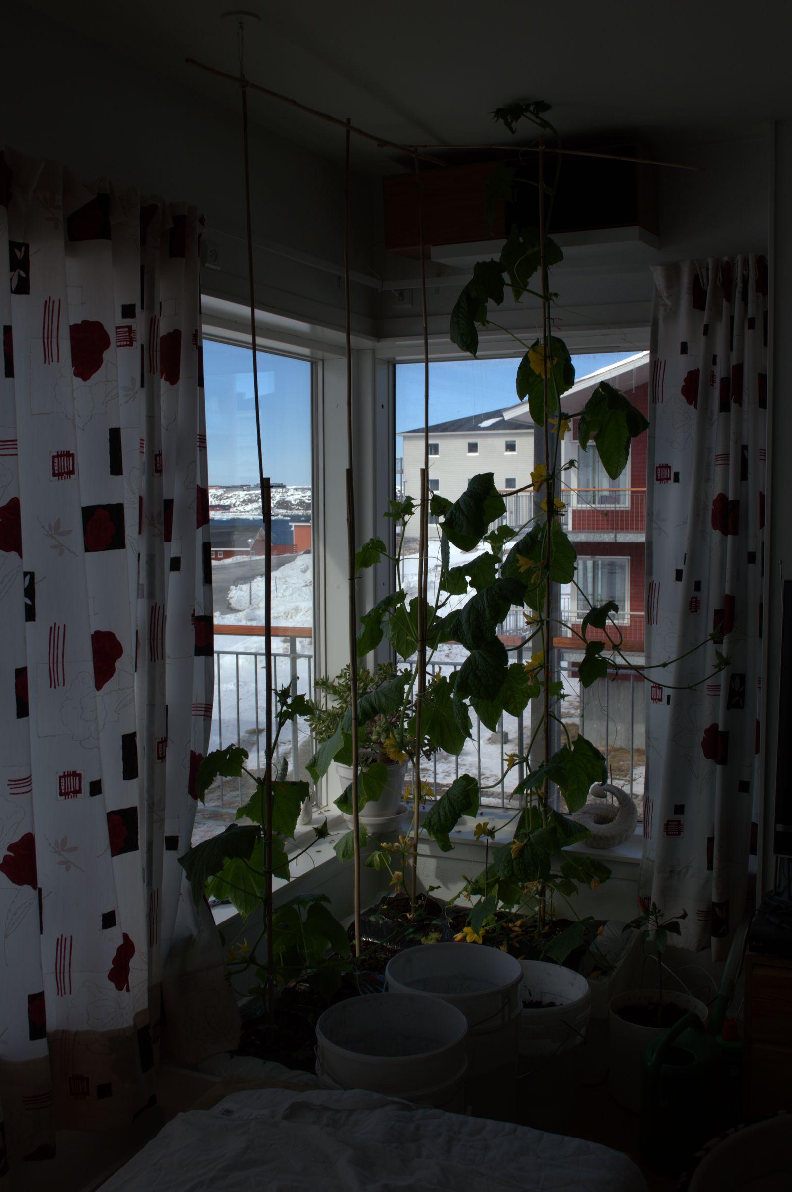 2014-04-30-1207_-_Agurkeplante_Kartofelspande_Planter