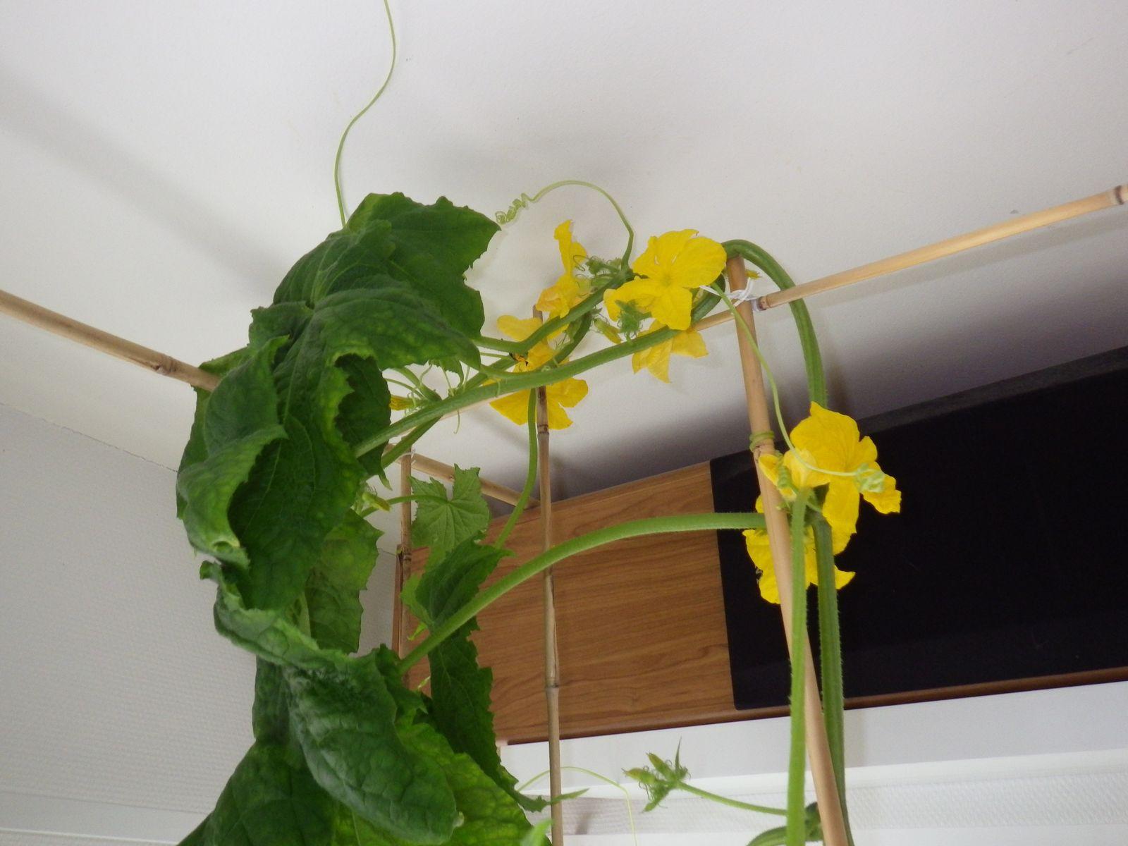 2014-05-08-0905_-_Agurkeplante_Planter