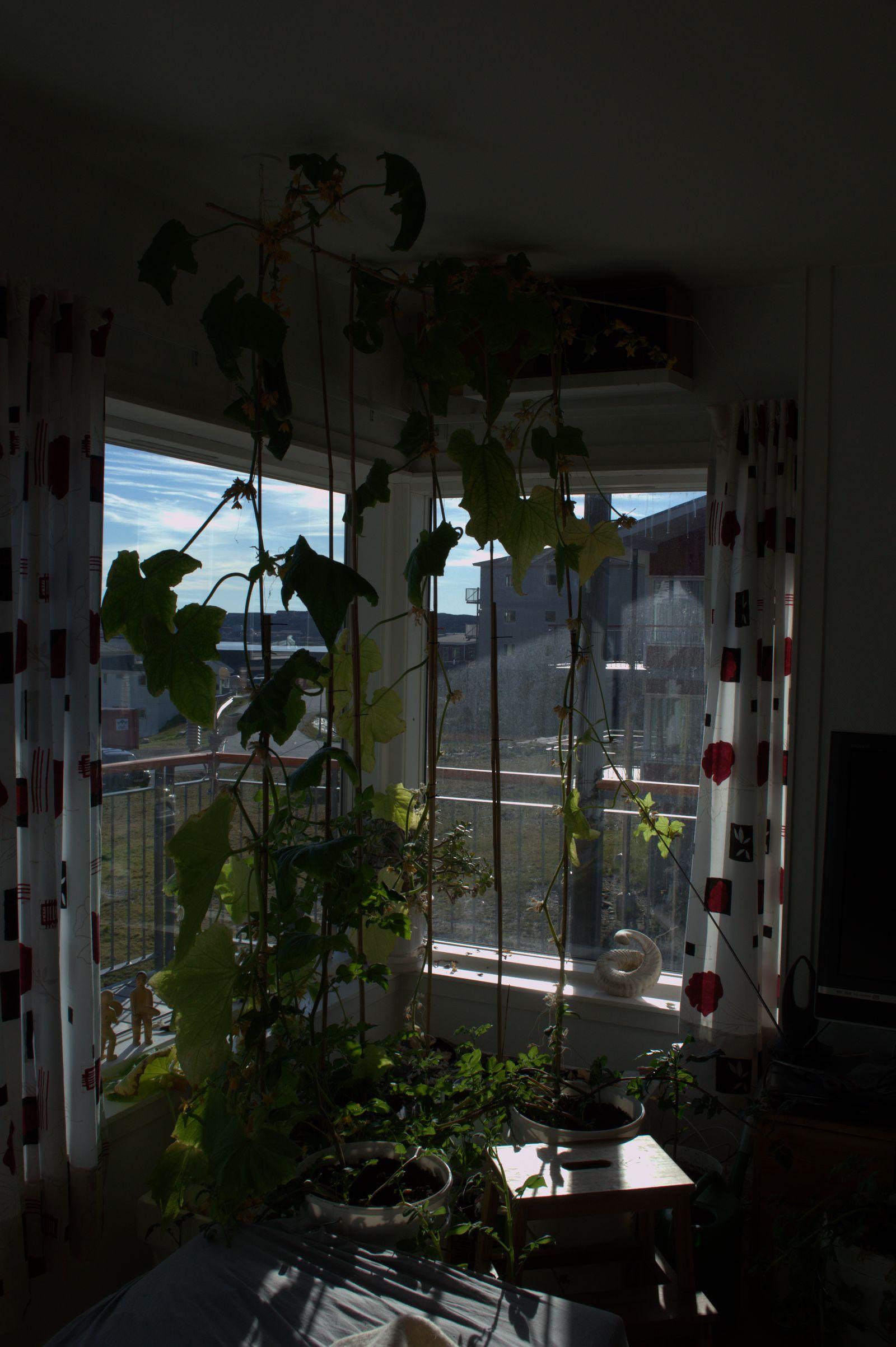 2014-07-06-1936_-_Agurkeplante_Kartofelspande