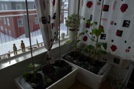 2014-04-13-1616_-_Agurkeplante_Planter