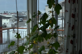 2014-05-01-1257_-_Agurkeplante_Kartofelspande_Planter