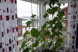 2014-05-08-0904_-_Agurkeplante_Kartofelspande_Planter
