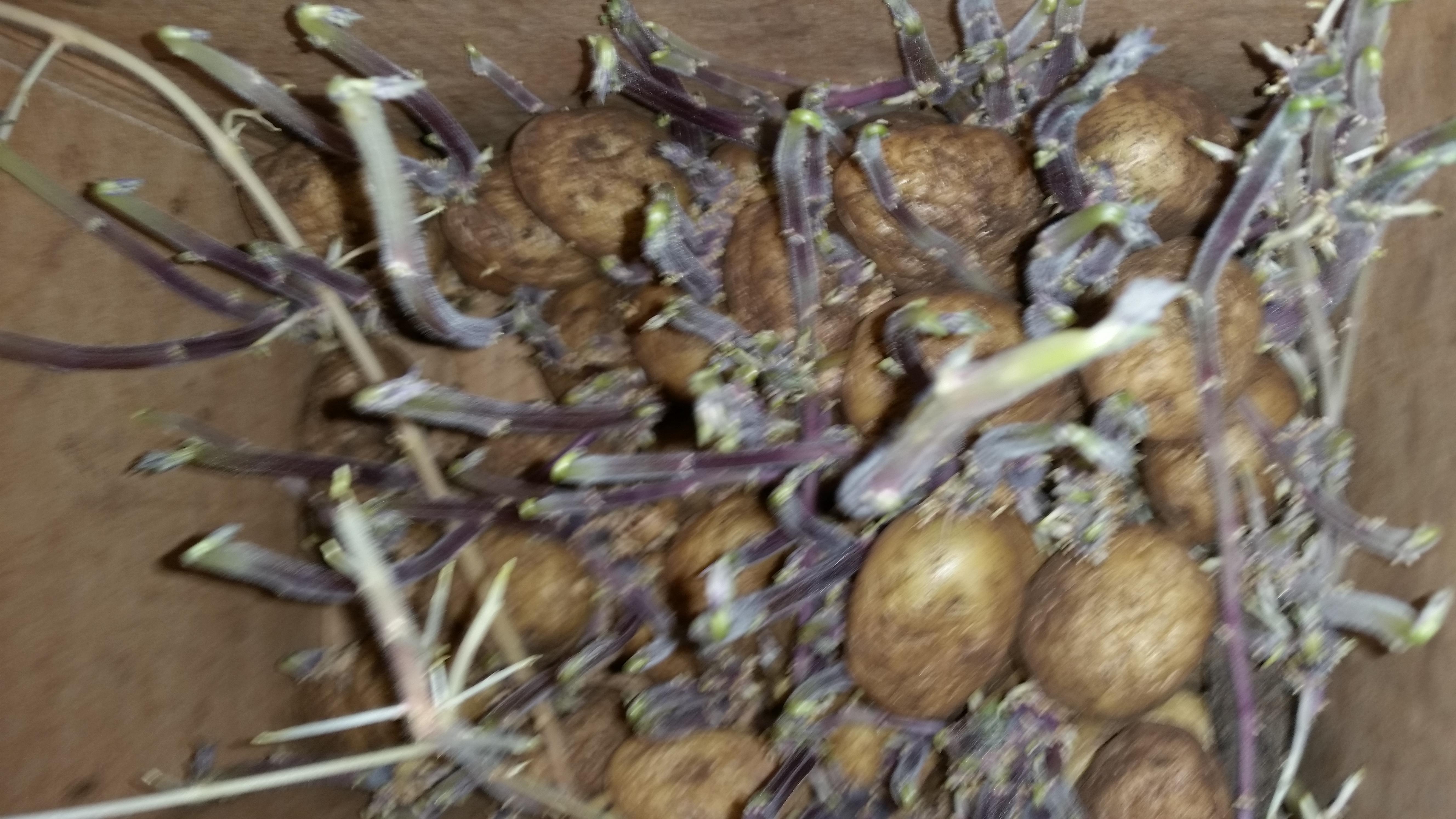 2017-05-08-1025_-_Kartoffelspire