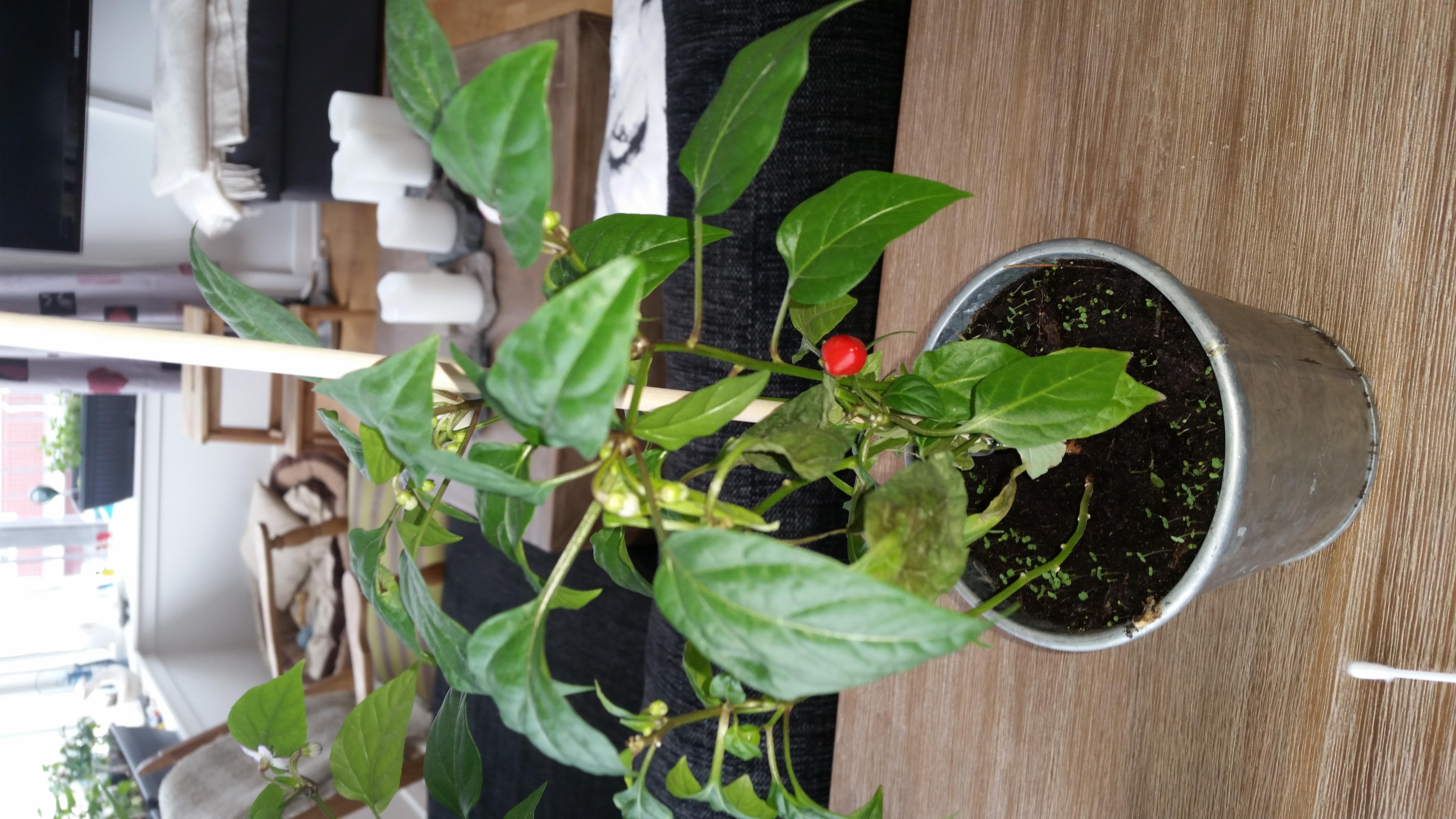 2017-05-11-0909_-_Chili; Plante_2