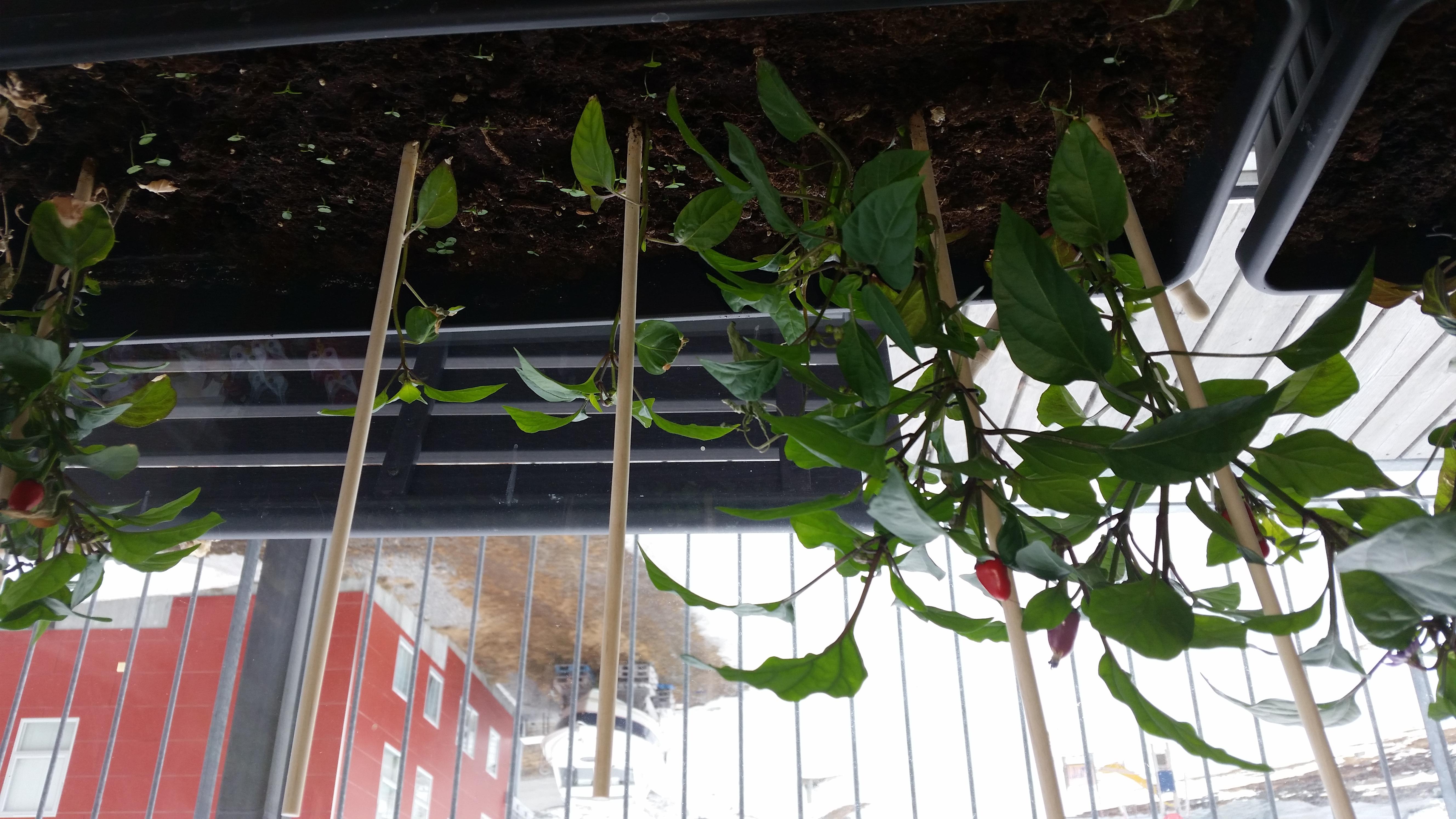 2017-05-11-0909_-_Chili; Plante_5