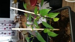2017-04-24-0823_-_Chiliplante; Plante