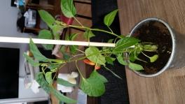 2017-05-02-0830_-_Chili; Plante_2