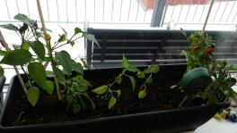 2017-05-02-0830_-_Chili; Plante_5