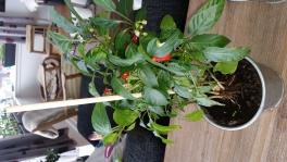 2017-05-11-0909_-_Chili; Plante