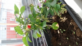 2017-05-11-0909_-_Chili; Plante_4