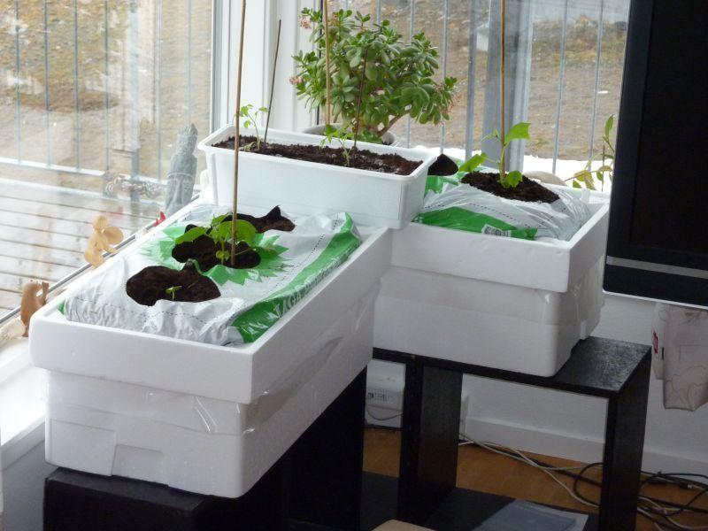 2012-04-07-0924_-_agurkeplante_chiliplante_tomatplante