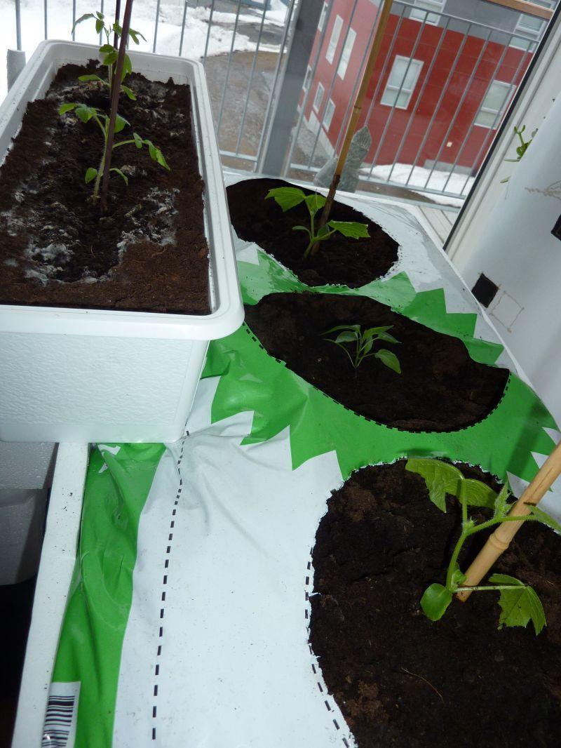 2012-04-03-1914_-_agurkeplante_chiliplante_tomatplante_2