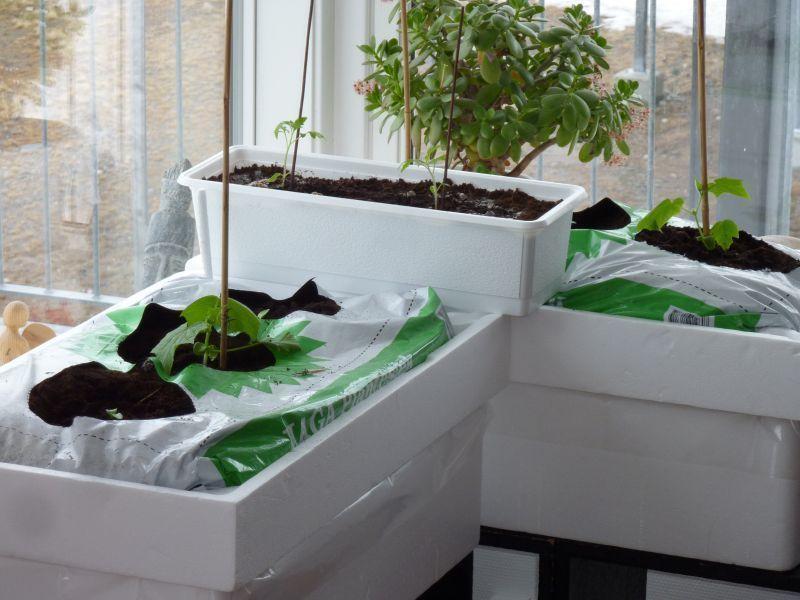 2012-04-04-0840_-_agurkeplante_chiliplante_tomatplante