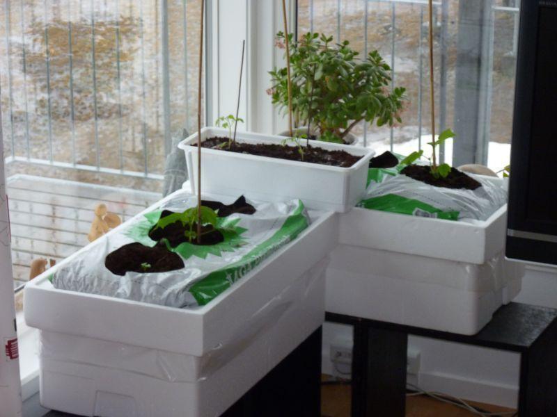 2012-04-05-1049_-_agurkeplante_chiliplante_tomatplante_2