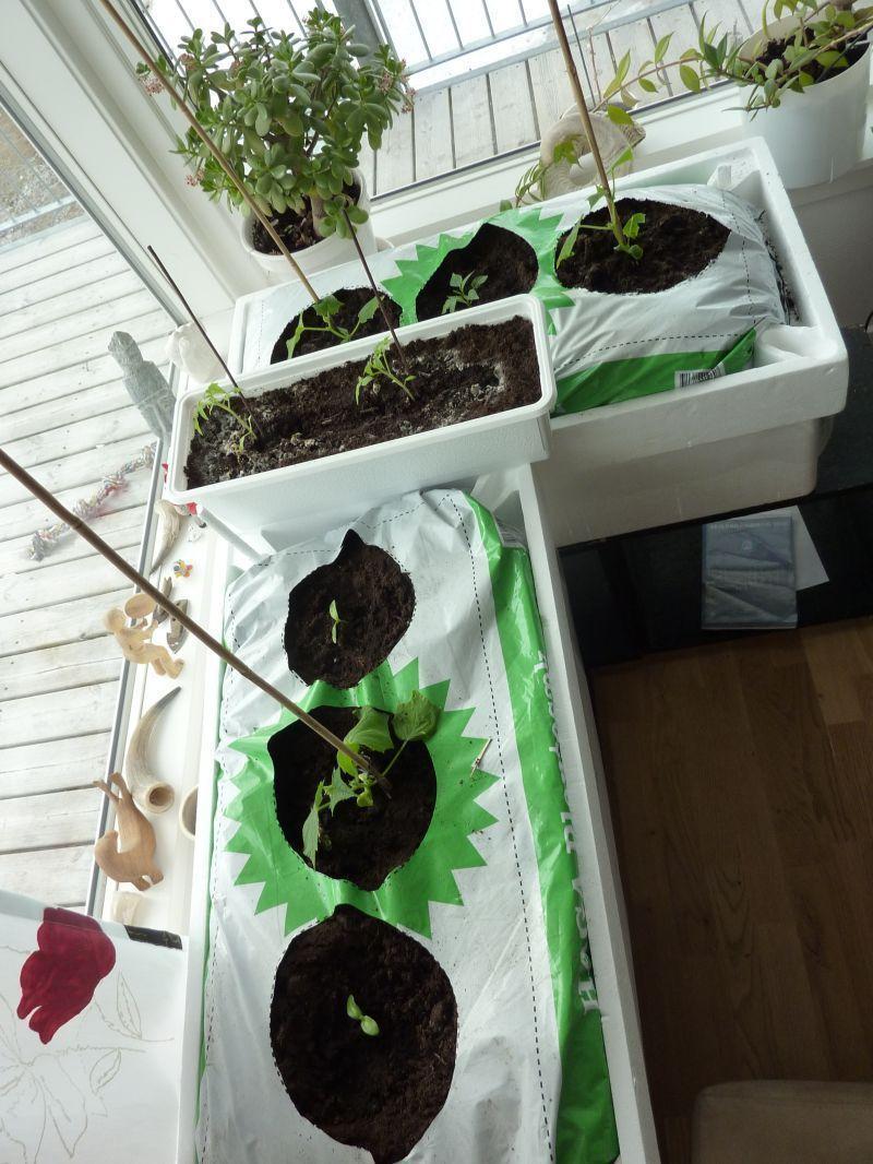 2012-04-06-1620_-_agurkeplante_chiliplante_tomatplante_2