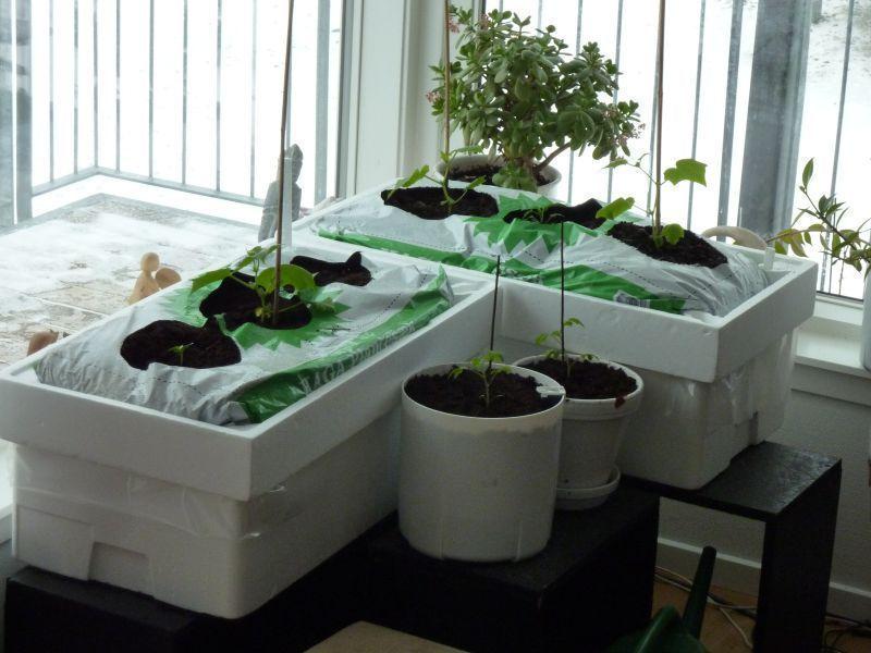 2012-04-09-1117_-_agurkeplante_chiliplante_tomatplante_2