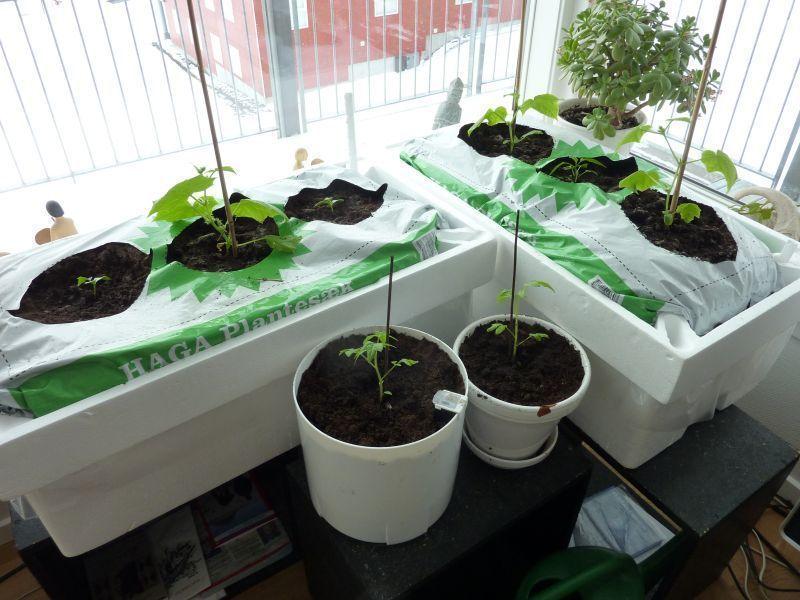2012-04-11-1341_-_agurkeplante_chiliplante_tomatplante