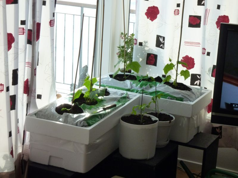 2012-04-14-1903_-_agurkeplante_chiliplante_tomatplante