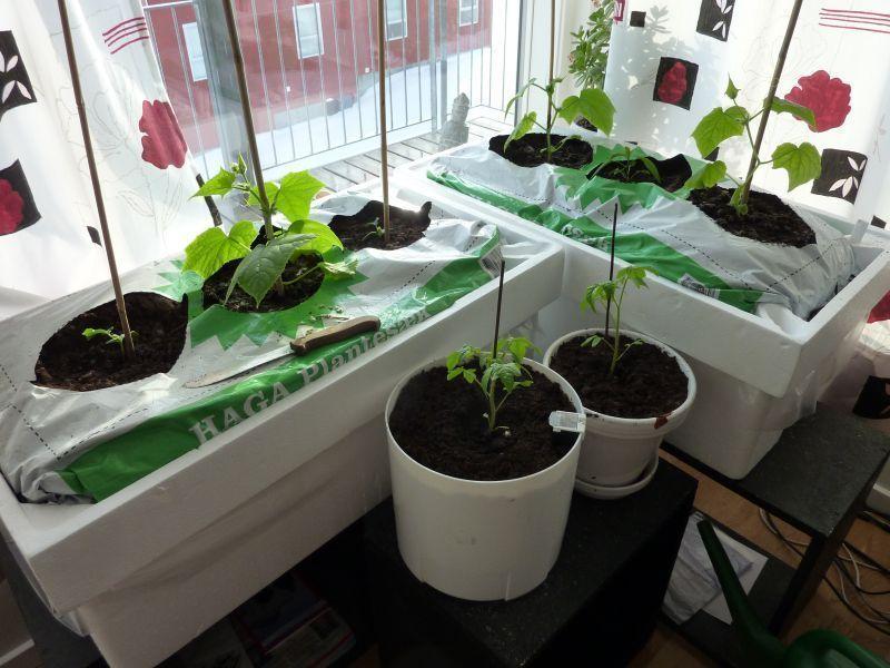 2012-04-14-1903_-_agurkeplante_chiliplante_tomatplante_2