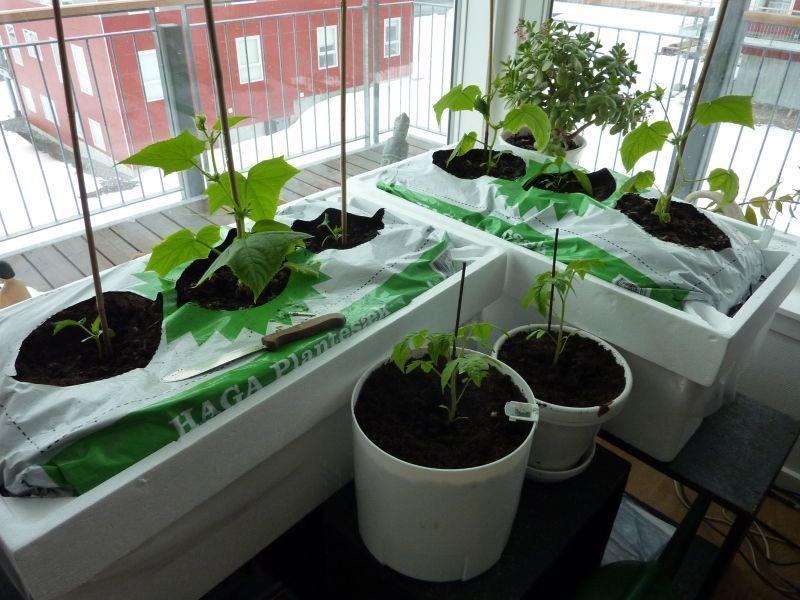 2012-04-16-1454_-_agurkeplante_chiliplante_tomatplante_2