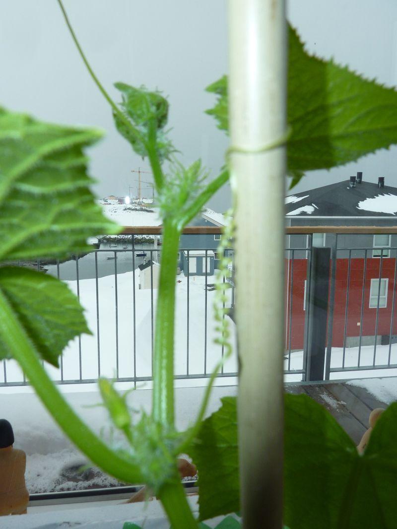 2012-04-17-1242_-_agurkeplante_chiliplante_tomatplante_3