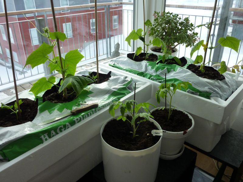 2012-04-18-1725_-_agurkeplante_chiliplante_tomatplante_2