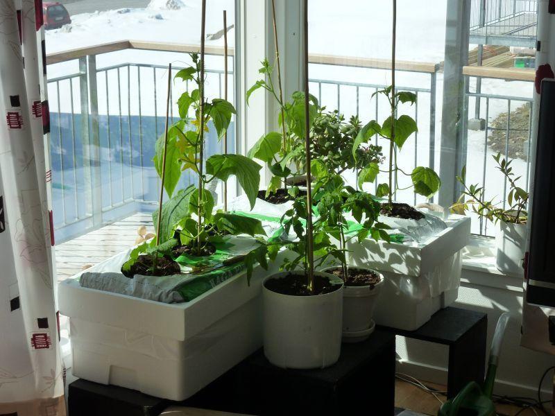 2012-04-25-1342_-_agurkeplante_chiliplante_tomatplante