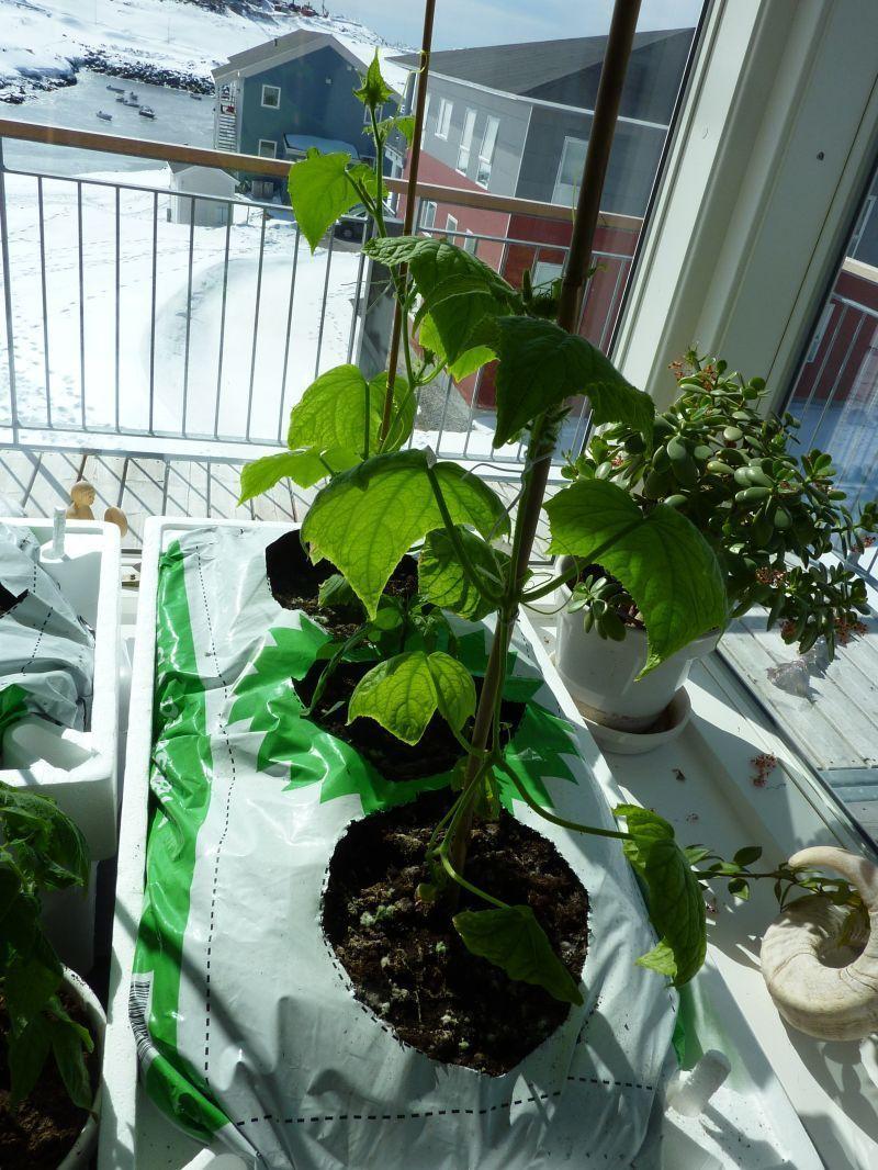 2012-04-25-1342_-_agurkeplante_chiliplante_tomatplante_3