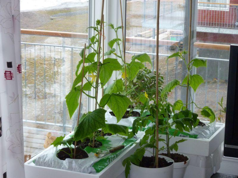 2012-04-27-1654_-_agurkeplante_chiliplante_tomatplante