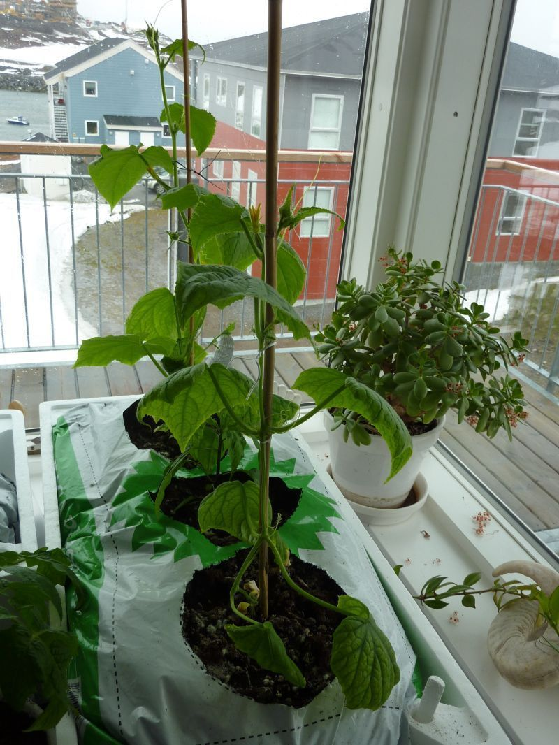 2012-04-27-1654_-_agurkeplante_chiliplante_tomatplante_3