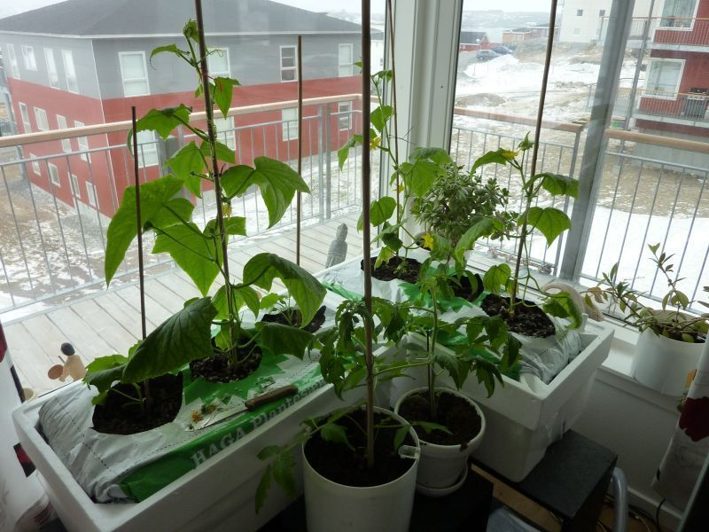 2012-04-28-1124_-_agurkeplante_chiliplante_tomatplante