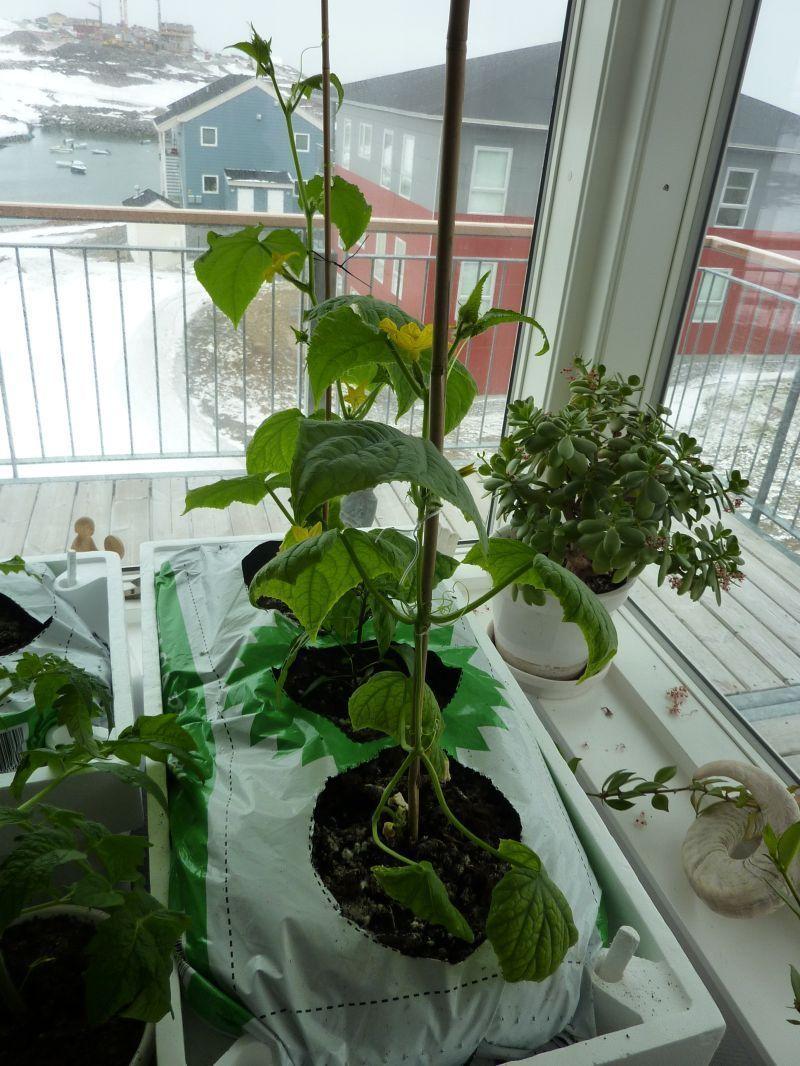 2012-04-28-1124_-_agurkeplante_chiliplante_tomatplante_2