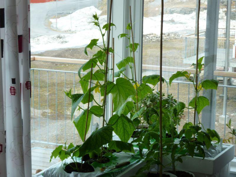 2012-04-30-0948_-_agurkeplante_chiliplante_tomatplante