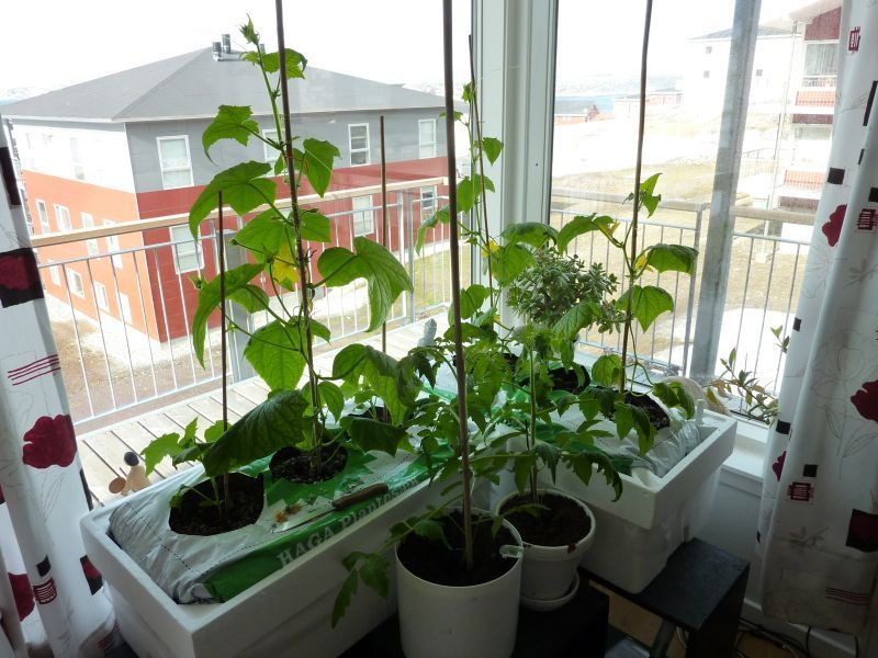 2012-04-30-0949_-_agurkeplante_chiliplante_tomatplante