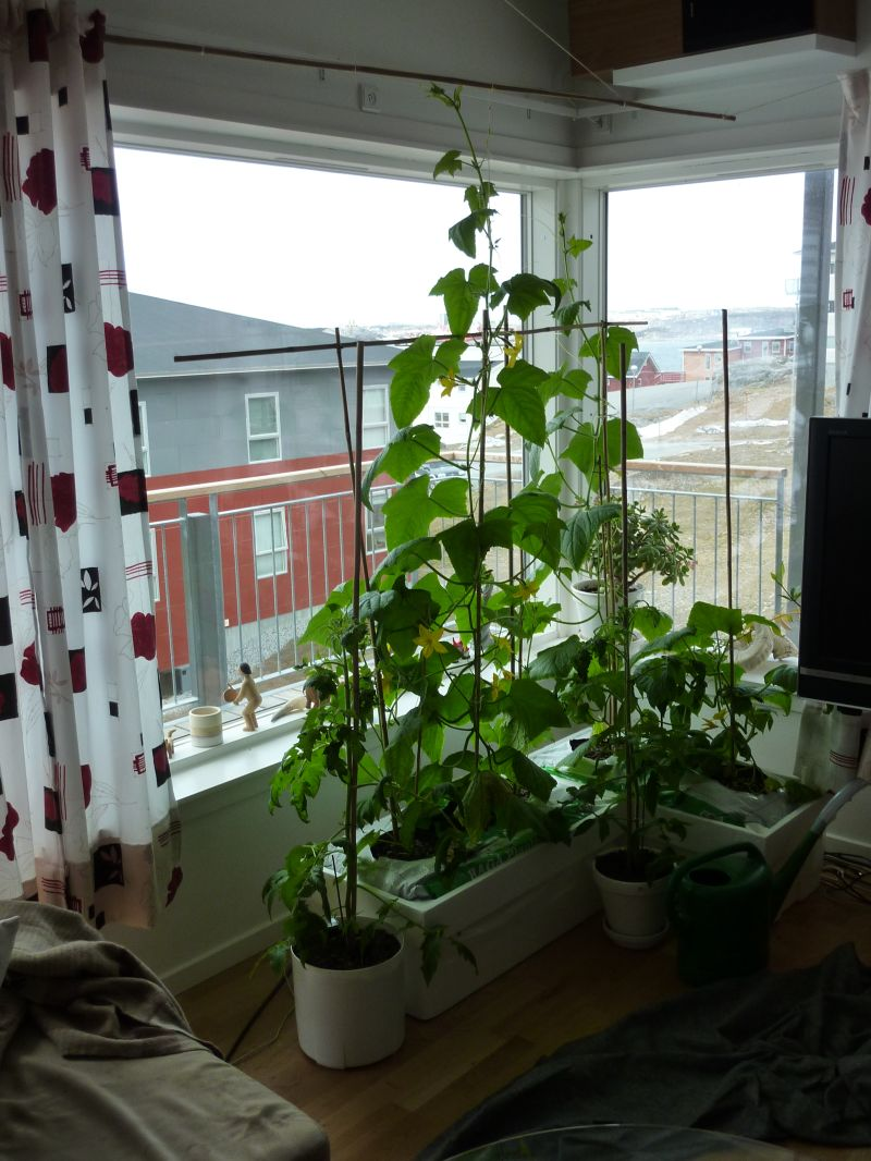 2012-05-10-1147_-_agurkeplante_chiliplante_tomatplante
