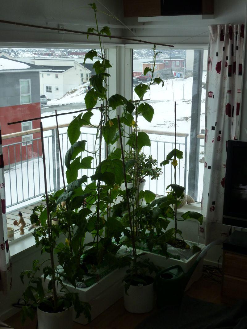 2012-05-12-1501_-_agurkeplante_chiliplante_tomatplante