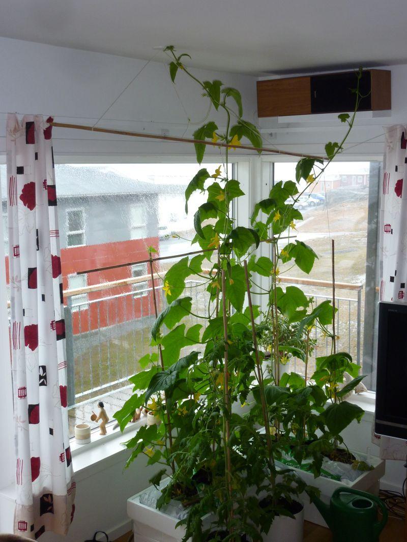 2012-05-17-1432_-_agurkeplante_chiliplante_tomatplante