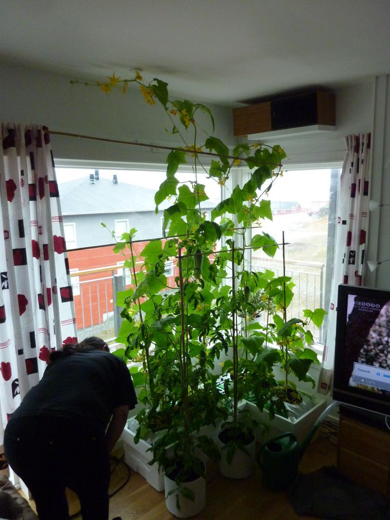 2012-05-27-1320_-_agurkeplante_chiliplante_tomatplante