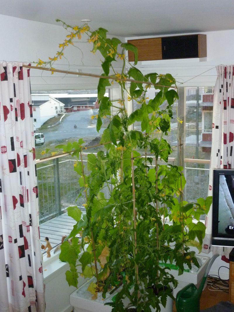 2012-06-02-2253_-_agurkeplante_chiliplante_tomatplante