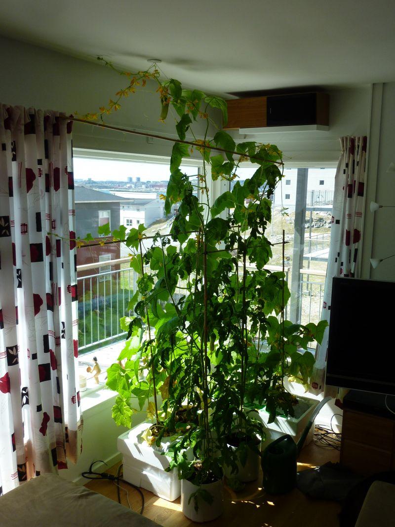 2012-06-04-1408_-_agurkeplante_chiliplante_tomatplante