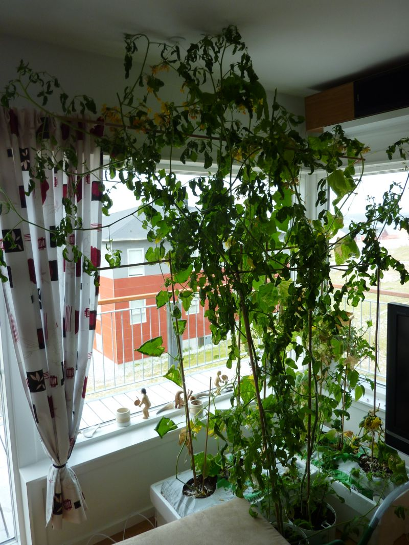 2012-08-23-1000_-_agurkeplante_chiliplante_tomatplante